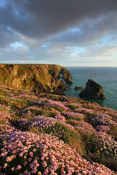 Pink Thrift in the late evening light, captured at Bedruthan Steps, near Newquay, England. Keep in touch on Twitter: @Gking_photo