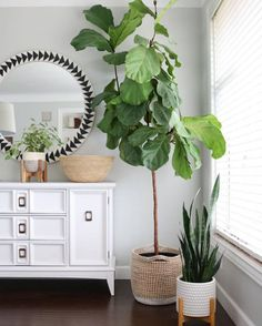 Fiddle Leaf Fig Complete Care Guide - That Planty Life Easy House Plants, House Plants Decor, Plant Decor, Fig Tree Plant, Fiddle Leaf Fig Tree, Fig Leaf Tree, Home Collections, Home Living Room, Decoration
