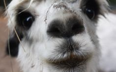 Reasons I want a llama... This picture explains them all.