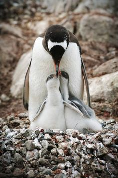 Gentoo Penguin Mom and twins