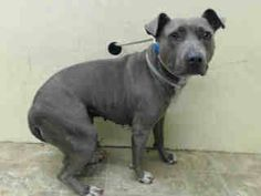 TO BE DESTROYED - 08/18/14 Brooklyn Center   My name is SHADOW. My Animal ID # is A1010472. I am a female gray and white am pit bull ter mix. The shelter thinks I am about 6 YEARS old.  I came in the shelter as a OWNER SUR on 08/13/2014 from NY 11226, owner surrender reason stated was BITEPEOPLE.