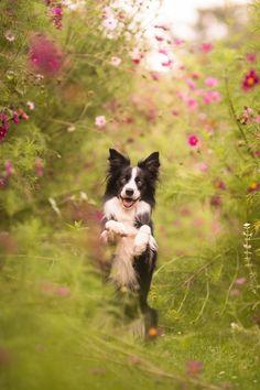 Neverland - gorgeous Border Collie amongst the flowers! Photograph by Terka Brožková #dog #dogphotos #bordercollie