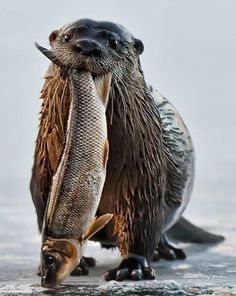 """23 Cutest Otter Picture Can anyone tell me who took this photo? Otter: """"Got me a fish! Nature Animals, Animals And Pets, Baby Animals, Funny Animals, Cute Animals, Wild Animals, Beautiful Creatures, Animals Beautiful, Otter Love"""