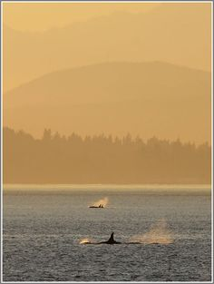Orca Whales off West Seattle