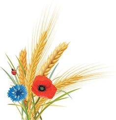 wheat-oat-and-barley-with-cornflower-poppy-and-ladybug-vector-id469692598…
