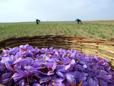Photo about Close up of beautiful blue Saffron Crocus flowers in bloom in wicker basket, agricultural workers in fields in background. Image of countryside, outdoor, blossoming - 7412620 Saffron Crocus, Saffron Flower, Blooming Flowers, Growing Saffron, Garden Styles, Mother Nature, Countryside, Stock Photos, Outdoor