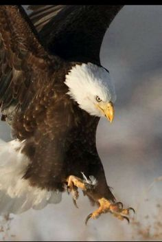 Types of Eagles - American Bald Eagle art portraits, photographs, information and just plain fun Pretty Birds, Beautiful Birds, Animals Beautiful, Eagle Pictures, Animal Pictures, All Birds, Birds Of Prey, Photo Aigle, Animals And Pets
