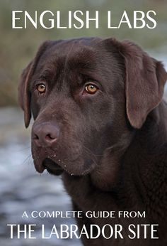 A complete guide to English Labs, their temperament and characteristics with lots of lovely photos