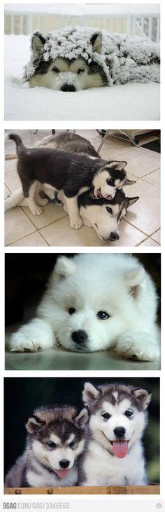Love me some huskies!