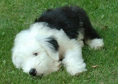 Adorable Old English Sheepdog Puppy Loving the Smell of the Grass