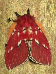 ˚Saturniid Moth, Rhodirphia carminata  by Andreas Kay @ Flickr