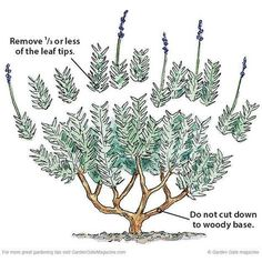 Lavender Pruning Guide   How To Grow Lavender   A Complete Garden Season Growing Guide