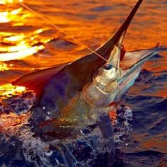 An idea for a painting: Marlin Darling, Florida Keys