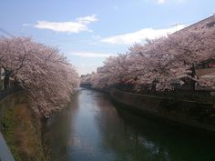 Sakura, cherry blossoms