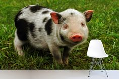 Before getting a pet pig, it's best to have all the facts. Every year, many pet pigs are abandoned to shelters because their owners didn't have a clear idea of what to expect. Pigs can make lovable pets but can be high maintenance. Pig Wallpaper, Animal Wallpaper, Pet Pigs, Baby Pigs, Juliana Pigs, The Farm, Mini Farm, Miniature Pigs, Pot Belly Pigs