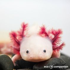 This little fellow is an axolotl, they are a special species of salamander. Whilst their 'branches' may look a little strange they do serve a purpose as they increase surface area for gaseous exchange. In the wild they are critically endangered. It is thought that they could provide solutions to human infertility.