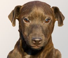 patterdale terrier brown - Google Search