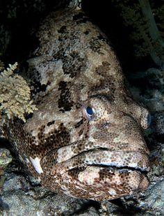 ˚Huge Grouper - Ras Umm Sid