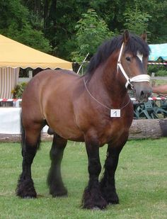 result for draft horse breeds Big Horses, Work Horses, Black Horses, Cute Horses, Pretty Horses, Horse Love, Beautiful Horses, Animals Beautiful, Animals Amazing