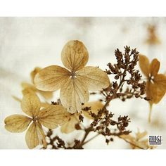 Hydrangea in snow, Winter photography, Dried hydrangea, Winter... (1.940 RUB) ❤ liked on Polyvore featuring home, home decor and neutral home decor