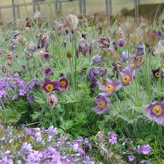 Pulsatilla vulgaris är en stillsam perenn som bör lämnas i fred. Garden Plants, Flowers, Gardens, Outdoor Gardens, Royal Icing Flowers, Flower, Florals, Garden, House Gardens