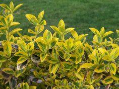 Бересклет японский - Euonymus japonicus, бересклет фото