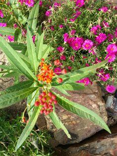 milkweed/butterfly weed