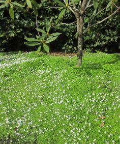 Pratia angulata is a popular native ground cover with tiny white flowers for months on end.