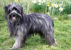 France. Chien de Berger des Pyrénées à poil long  ( Pyrenean Sheepdog Long-haired) grey Pet Dogs, Dogs And Puppies, Rare Dogs, Herding Dogs, Lurcher, Dog Art, Dog Breeds, Rare Breeds, Cute Animals