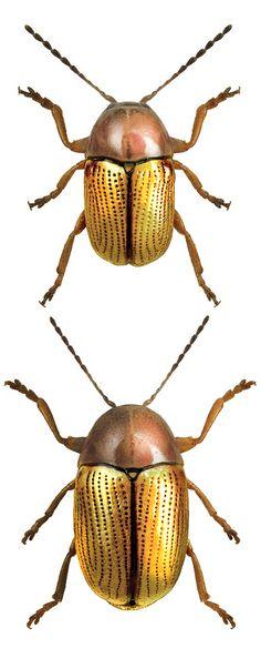 Cryptocephalus fulvus.jpg