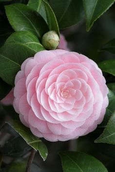 Camellia ~ Long ago and far away, a boyfriend who worked in a flower shop after school once gave me a magnificent camellia like this as a wrist corsage for a school dance. Will not soon forget him or the flower. :)