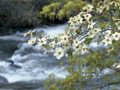 Google Image Result for http://3.bp.blogspot.com/_U43z-KAg3fc/S_XDXE2TKeI/AAAAAAAAAB4/iZrf_jKuds8/s1600/Dogwood_Tree_Blooms,_Yosemite,_California.jpg