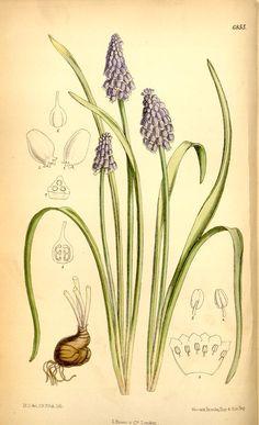 v.112 [ser.3:v.42] (1886) - Curtis's botanical magazine. - Biodiversity Heritage Library