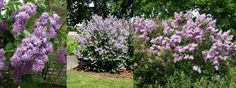 lilac syringa vulgaris hybrid - Google Search