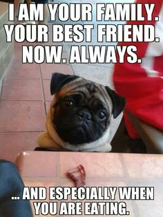 Pugs have a variety of facial expressions. For that reason, pug memes are funny and I hope these 101 dog memes featuring pugs bring a smile to your day! Funny Dog Memes, Funny Animal Memes, Cute Funny Animals, Funny Dogs, Memes Humor, Pug Humor, Pug Pictures, Funny Animal Pictures, Dog Photos