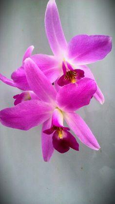 orchiddynasty:      Laelia anceps 'Mendenhall' AM/AOS