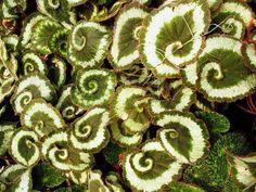 Naturaleza Geométrica. Begonia en Espiral