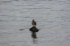 Mallard (Female) , Windermere Lakes, UK