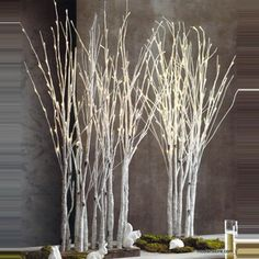 Roost Lighted Birch Forest