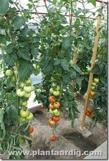 Deel 2 tomaten snijden - wanneer en hoe blad wegsnijden