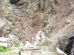 """Jigokudani-Yaenkouen""(Snow-Monkey), Yutanaka-Onsen(Terme) Nagano Japan"