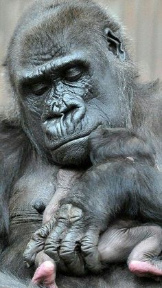 Obligatory reference: Photo by Slavek Ruta / REX / Shutterstock A newborn gorilla lies in the arms of her mother Shinda. The baby was born on April A newborn gorilla was born on April 2016 in the Prague Zoo in the Czech Republic Primates, Gorilla Gorilla, Cute Baby Animals, Animals And Pets, Funny Animals, Beautiful Creatures, Animals Beautiful, Prague Zoo, Regard Animal
