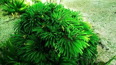 Photo of Crested Madagascar Palm (Pachypodium lamerei 'Cristate') uploaded by Dutchlady1 Madagascar Palm, Photo Location, Herbs, Garden, Plants, Garten, Lawn And Garden, Herb, Gardens