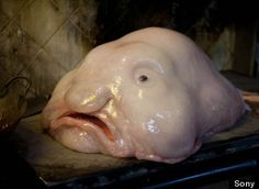 Blobfish This gelatinous mass lives off the Australian coast in the Indian Ocean. What's so extraterrestrial about this deep-sea dweller? It's all face! As if it was trying to camouflage itself as a human, but stopped at the head part. Blobfish is also almost all fat and terribly ugly.