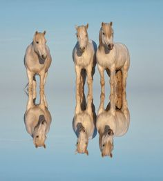 """Camargue horses reflecting in the water, Bouches du Rhône, France ""  by Gabrielle Therin-Weise"