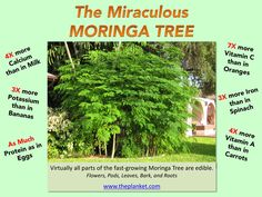 Moringa Tree:  A remarkable, fast-growing tree that is native to Africa and Asia, but can be found in many parts of the globe.    Virtually all parts of the miraculous Moringa are edible, and offers an abundance of vitamins and nutrients, such as Iron, Calcium, Vitamins A, B  C, as well as Protein and Potassium.  It's a phenomenal mainstay to help curb Hunger in Poverty-sticken areas.  As such, its popularity has soared globally in recent years. Growing Carrots, Calcium Vitamins, Fast Growing Trees, Outdoor Plants, Miraculous, Gardening Tips, Abundance, Protein, Globe