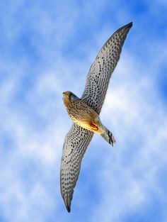 Torenvalk Pretty Birds, Beautiful Birds, Birds Of Prey, Raptors, Falcons, Hawks, Blue Bird, Eagles, Peacock