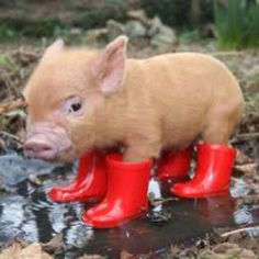 I need this tiny pig in my life