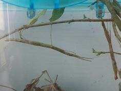 Pet stick insects MM