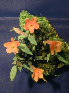 Andy's Orchids - Species Specialist - Dendrobium - cuthbertsonii